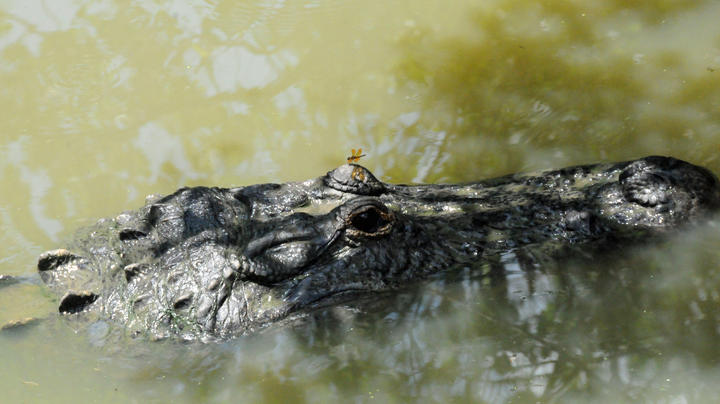 South Carolina Woman Killed by Alligator Preview Image
