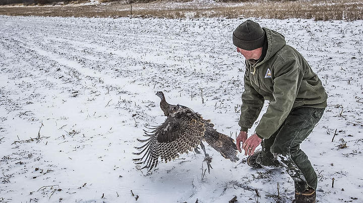 New Missouri GPS Study to Track Turkey Poult Mortality Preview Image