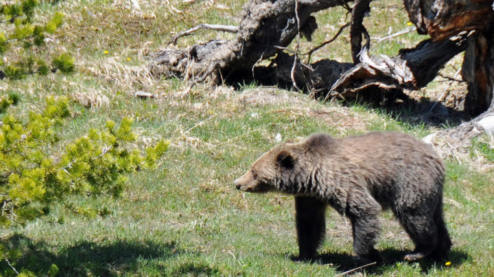 Runner Collides With Grizzly on Glacier National Park Trail Preview Image