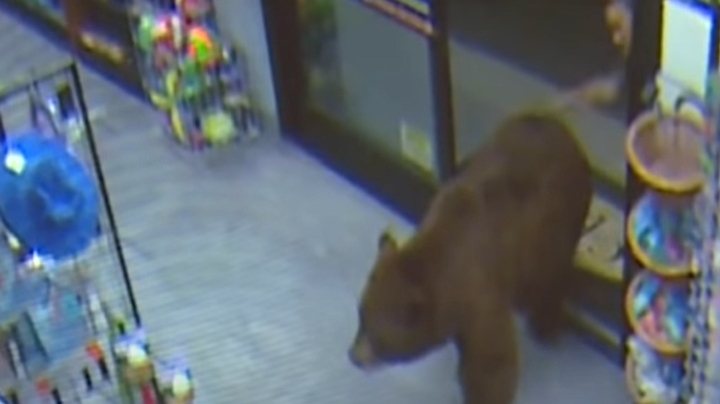 Video Footage: Bear Repeatedly Enters Lake Tahoe Gas Station, Customer Smacks It on the Butt Preview Image