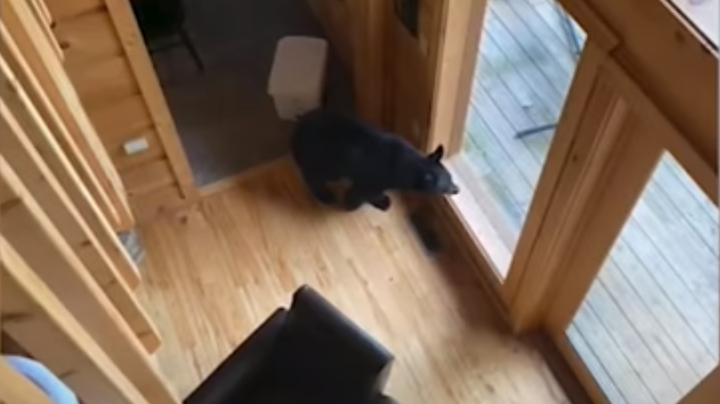 Bear Breaks Into Cabin, Steals Junk Food, Beer, Allergy Medicine Preview Image