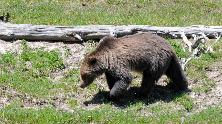 Montana Hiker Shoots Grizzly Bear in Self-Defense Preview Image