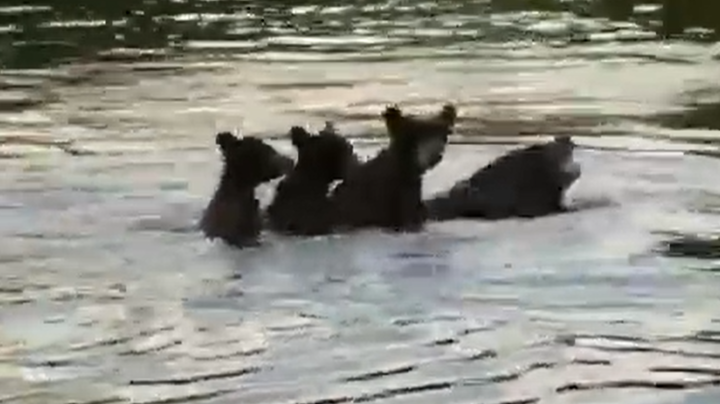 Watch Three Cubs Ride Mama Bear's Back Across Wisconsin Lake Preview Image