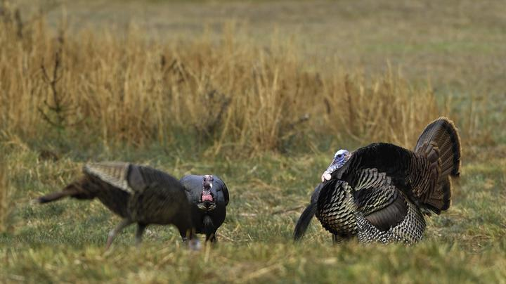 6 States to Turkey Hunt in March  Preview Image