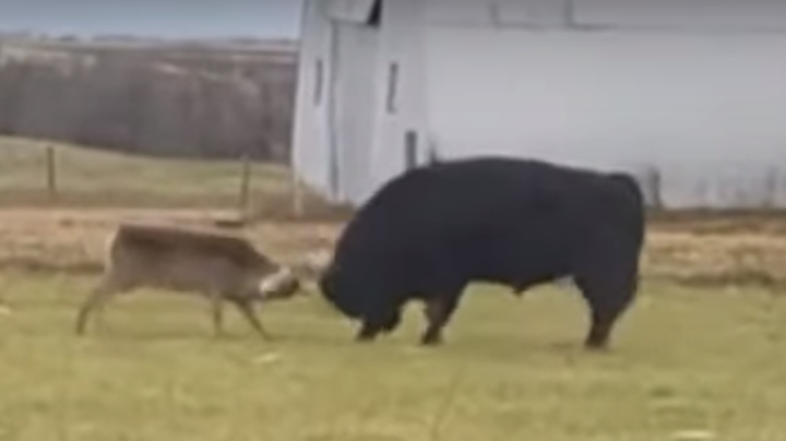 Watch a Rutting Buck Spar with Bull Preview Image