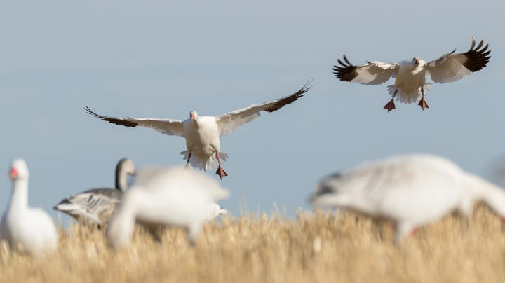 5 Snow Goose Stops You've Never Tried Preview Image