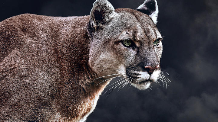 Are Wild Mountain Lions Preying on Zoo Animals? Preview Image