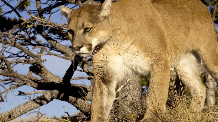 Mountain Lion Attacks Deputy at Colorado RV Park Preview Image