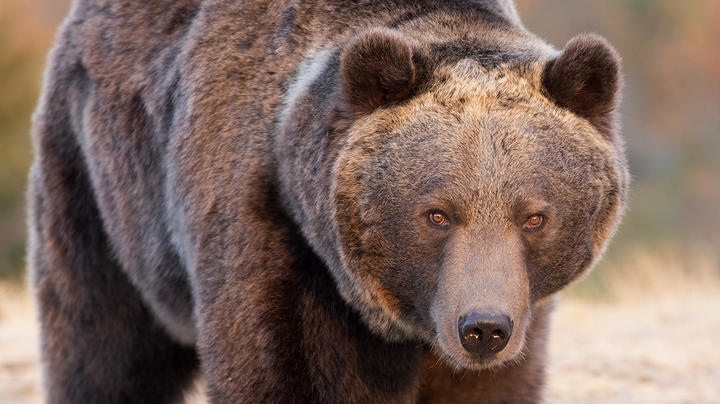 Grizzly Attacks, Injures Two Montana Hunters Preview Image