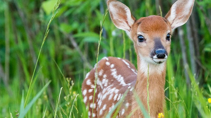 What's Going on with Paralyzed Fawns in Martha's Vineyard?  Preview Image
