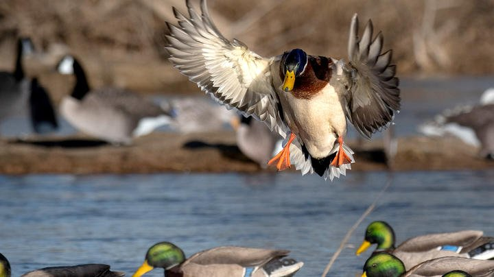 Our 30 Best Mallard Hunting Tips Preview Image