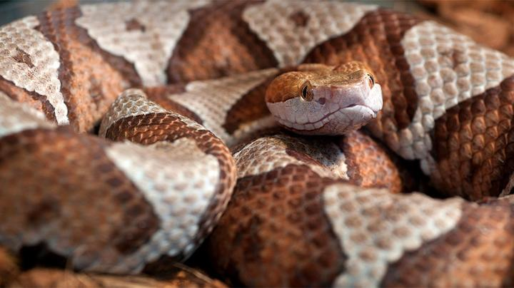 Copperhead Hiding in Toy Pile Bites Toddler Preview Image