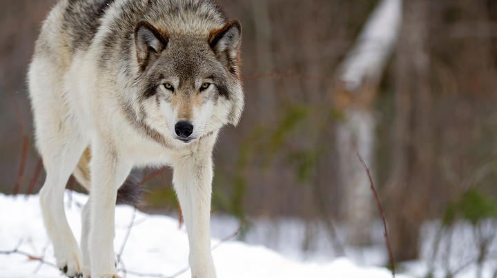 Get Paid to Trap Wolves in Idaho Preview Image