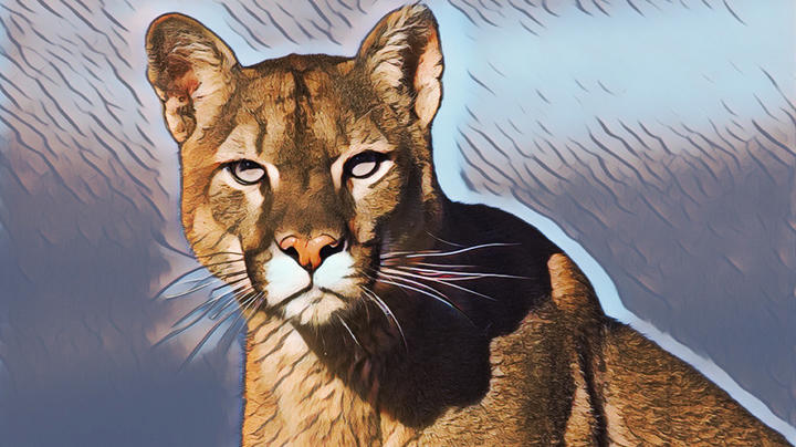 Southern California Mountain Lions Given Temporary Protection Preview Image