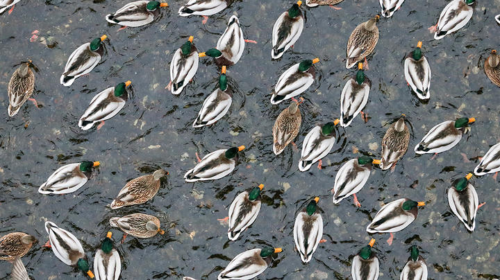 Delta Waterfowl Video: What Really Drives Duck Numbers? Preview Image