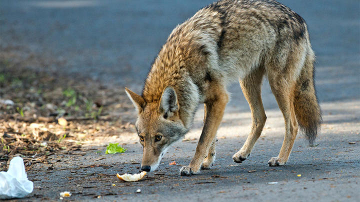 Chicago Authorities Capture Coyote After Two Reported Attacks Preview Image