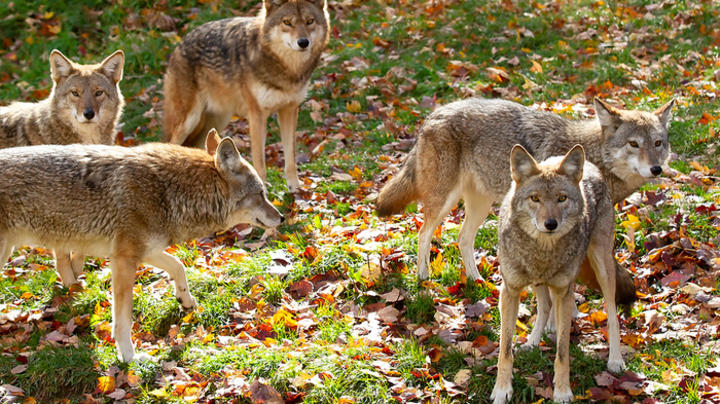 Coyote Pack Surrounds Woman and Her Dog Preview Image