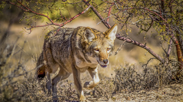 3 Killer Sounds for February Coyote Hunting Preview Image