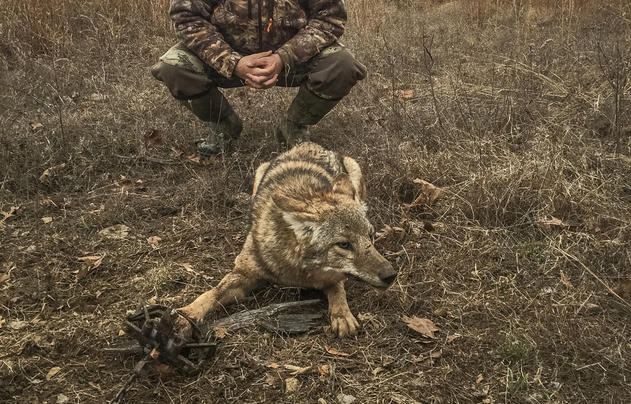 Why Aren't We Trapping Coyotes Right Now? Preview Image