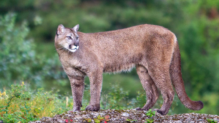 Mountain Lion That Attacked Deputy Tests Positive for Rabies Preview Image