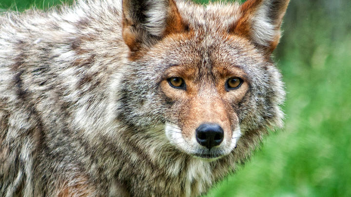 Coyote Attacks 5-Year-Old Girl Preview Image