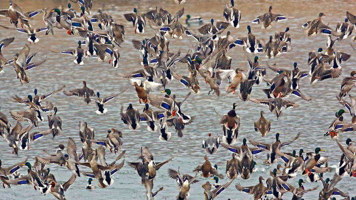 Covid-19 Prompts Feds to Cancel Spring Waterfowl Surveys Preview Image