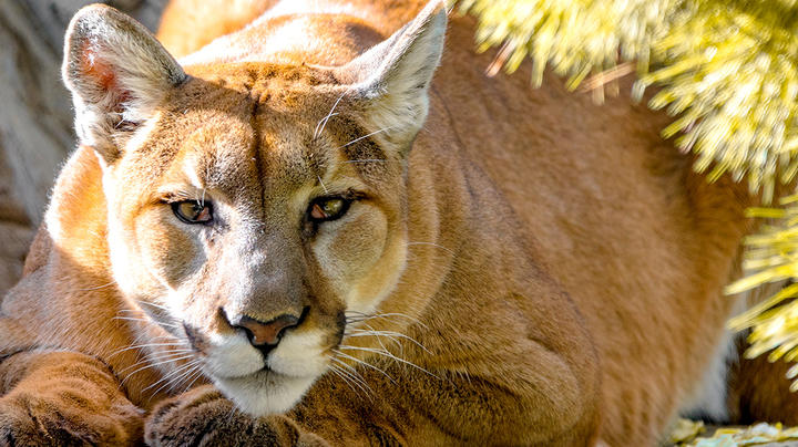 Texas Officials Disagree on Whether Man Was Killed by Mountain Lion Preview Image