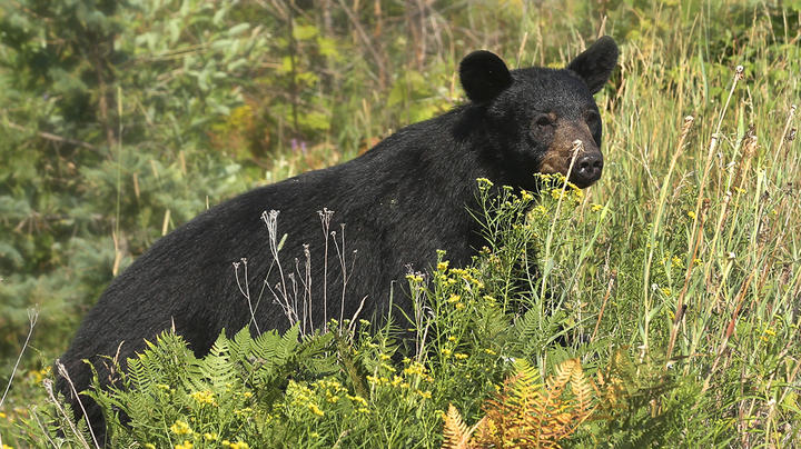 Rangers Euthanize Smoky Mountain Bear Discovered Scavenging Human Remains  Preview Image
