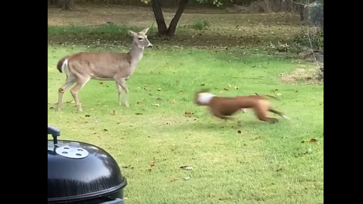 Dog Chases Deer, Soon Regrets It Preview Image