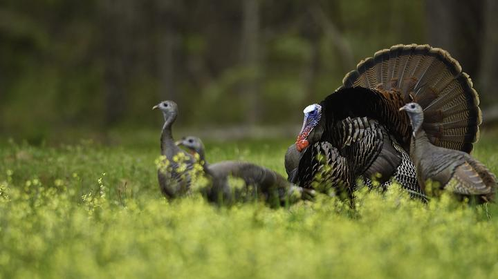 10 Tips for Henned-Up Gobblers Preview Image
