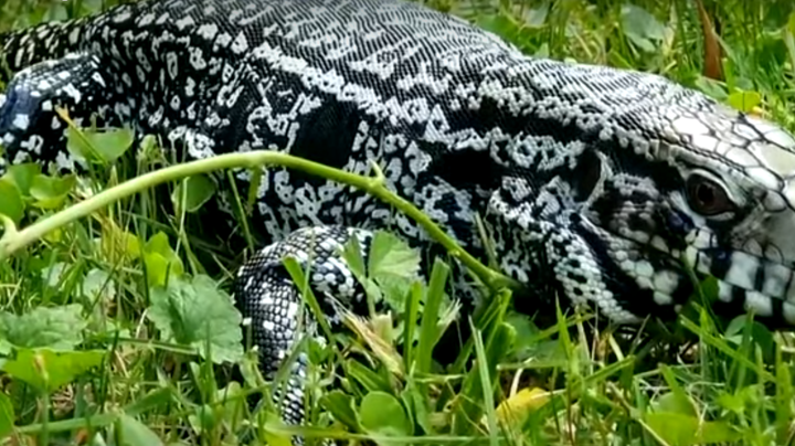 Giant Tegu Lizards Invade Georgia Preview Image