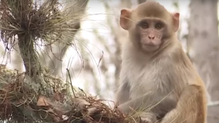 Possible Herpes-Infected Monkeys Invade Florida Coast Preview Image