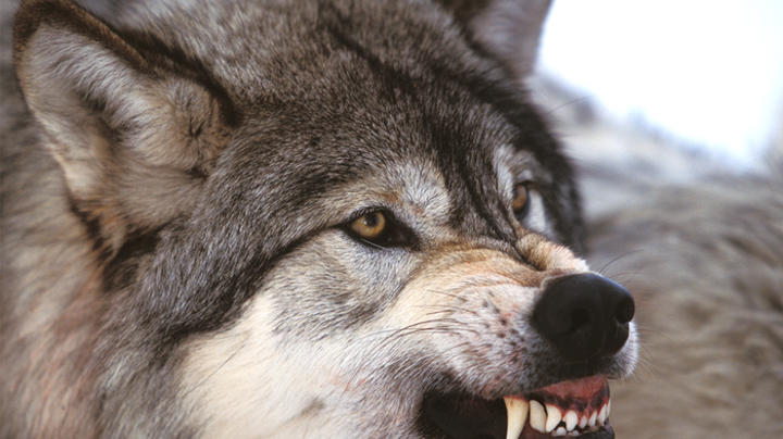 British Columbia Man Injured in Wolf Attack Preview Image