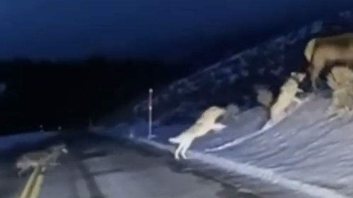 Yellowstone Visitor Films Wolf Pack Chasing Elk Preview Image