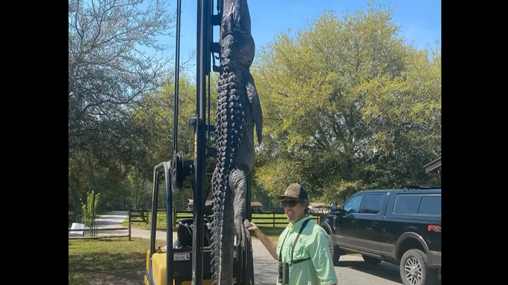 5 Dog Identification Tags Found in Belly of Massive Alligator Killed in South Carolina Preview Image