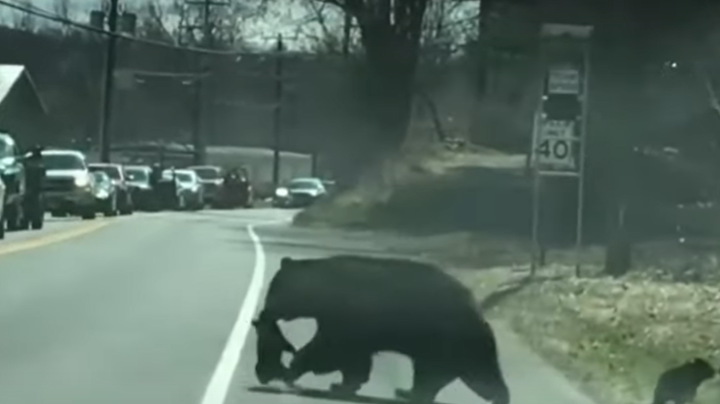 Watch: Mama Bear Struggles to Get 4 Tiny Cubs Across Connecticut Road Preview Image