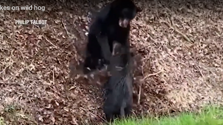 Video: Black Bear Takes Down Wild Hog in the Smoky Mountains Preview Image