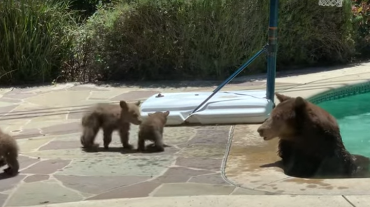 Watch: Mama Bear Relaxes in Backyard Pool While Four Cubs Play Nearby Preview Image