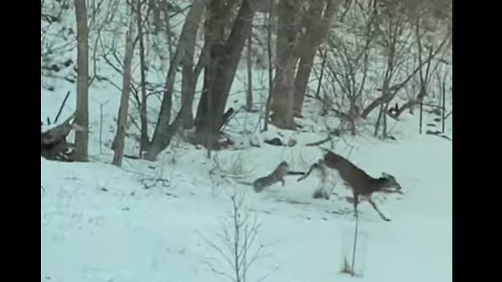 Wisconsin Couple Films Bobcat Taking Down Buck in Woods Behind Their House Preview Image