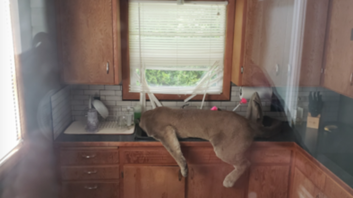 Watch: Wildlife Officials Tranquilize Cougar in Kitchen Sink of Washington Home Preview Image