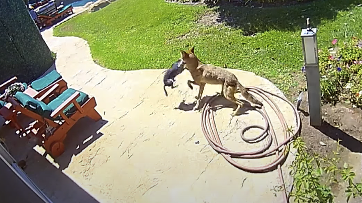 Watch: Couple Saves Chihuahua From Coyote's Jaws With Air Horn Preview Image