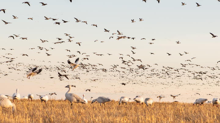 Outlook Uncertain for Spring Snow Goose Seasons Preview Image