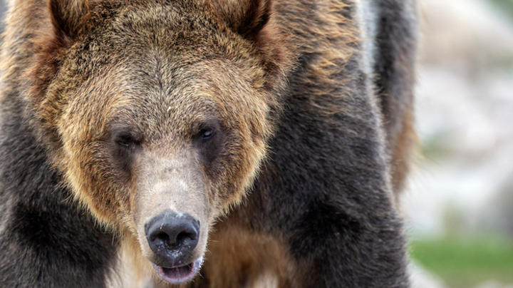 Wildlife Officials Shoot Montana Grizzly Likely Responsible for Woman's Death Preview Image