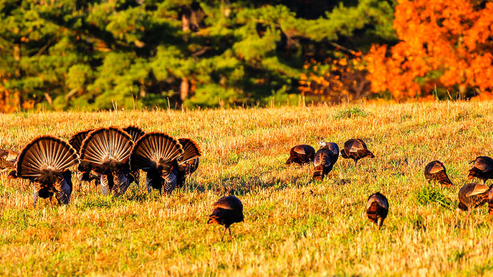 Fall Turkey Hunting on Public Land Preview Image