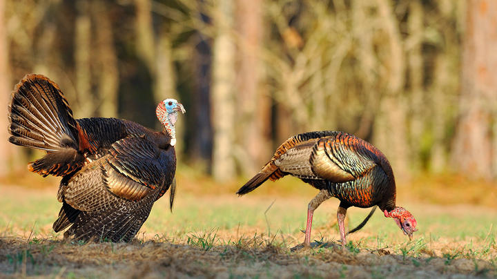 Turkey Hunting Nation Southeast Update Preview Image