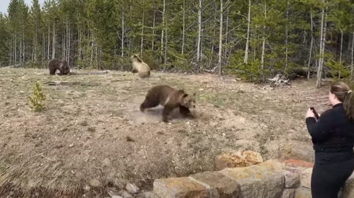 Watch: Grizzly Charges Tourist in Yellowstone National Park Preview Image