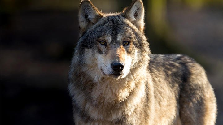 Idaho Governor Signs Bill to Kill Up to 90% of State's Wolves Preview Image