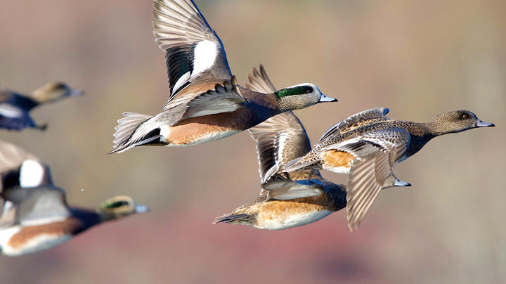 2021 Pacific Flyway Duck Hunting Forecast Preview Image