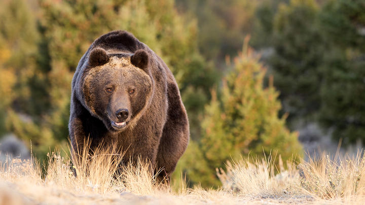 West Yellowstone Hiker Attacked by Grizzly Has Died Preview Image