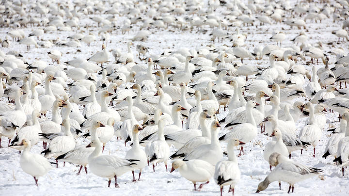 Is It OK to Jump-Shoot Snow Geese? Preview Image